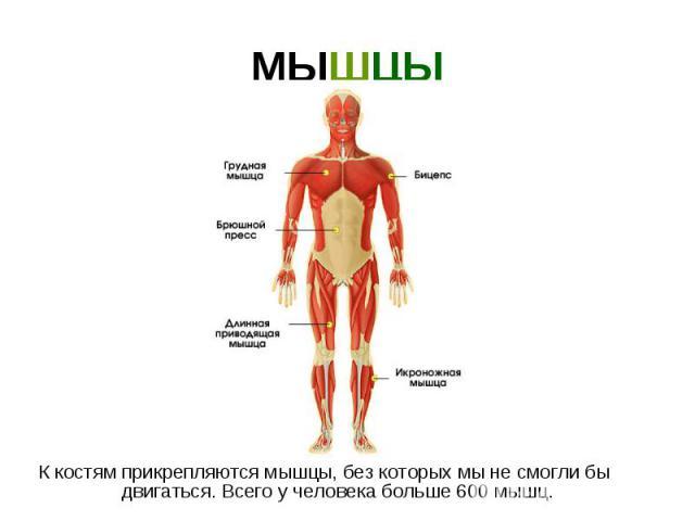 МЫШЦЫ К костям прикрепляются мышцы, без которых мы не смогли бы двигаться. Всего у человека больше 600 мышц.