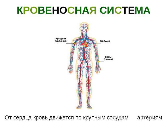 КРОВЕНОСНАЯ СИСТЕМА От сердца кровь движется по крупным сосудам — артериям