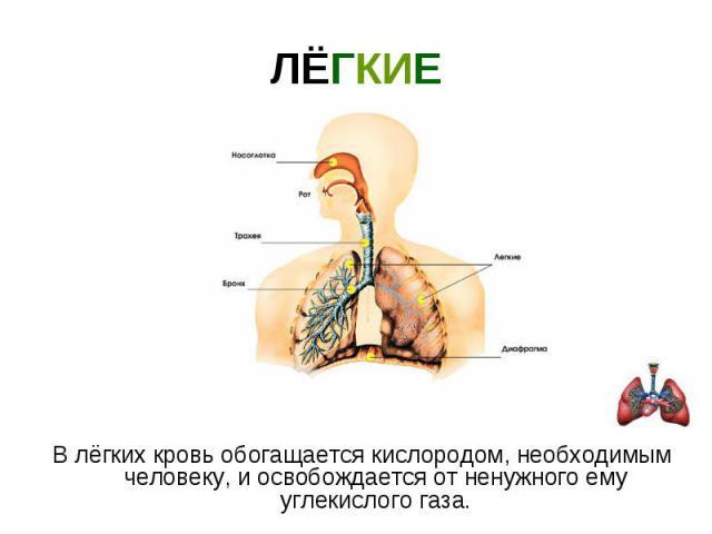 ЛЁГКИЕ В лёгких кровь обогащается кислородом, необходимым человеку, и освобождается от ненужного ему углекислого газа.