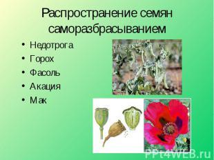 Распространение семян саморазбрасыванием НедотрогаГорохФасольАкацияМак