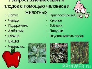 Распространение семян и плодов с помощью человека и животных ЛопухЧередаПодорожн