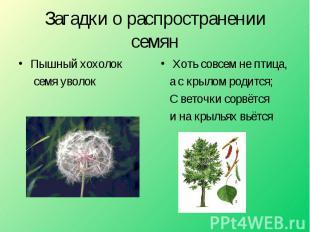 Загадки о распространении семян Пышный хохолок семя уволок Хоть совсем не птица,