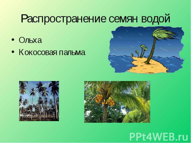 ОльхаКокосовая пальма Распространение семян водой