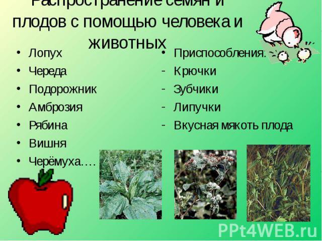 Распространение семян и плодов с помощью человека и животных ЛопухЧередаПодорожникАмброзияРябинаВишняЧерёмуха…. Приспособления:КрючкиЗубчикиЛипучкиВкусная мякоть плода