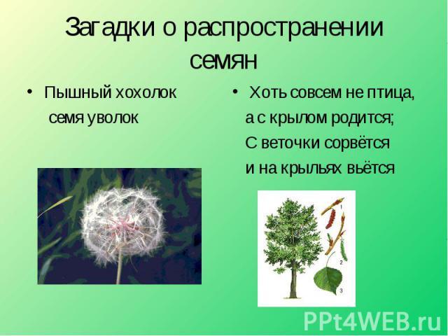 Загадки о распространении семян Пышный хохолок семя уволок Хоть совсем не птица, а с крылом родится; С веточки сорвётся и на крыльях вьётся