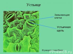 Устьице Замыкающие клетки Устьичная щель Функция: газообмен