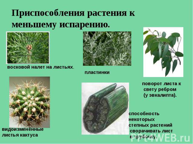 Приспособления растения к меньшему испарению. восковой налет на листьях. видоизменённые листья кактуса пластинки поворот листа к свету ребром (у эвкалипта). способность некоторых степных растений сворачивать лист в трубочку.