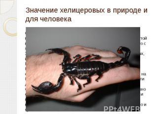 Значение хелицеровых в природе и для человека Скорпионы ядовиты, яд накапливаетс
