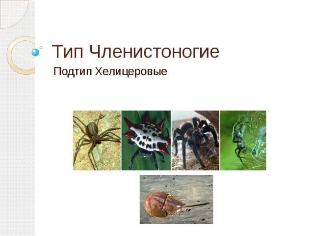Тип ЧленистоногиеПодтип Хелицеровые