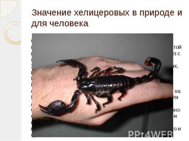 Значение хелицеровых в природе и для человека Скорпионы ядовиты, яд накапливается в их хвосте в грушевидном членике, который оканчивается иглой, загнутой вверх. На ее вершине и расположены два отверстия желез с ядом.Хотя и живут скорпионы по большей…