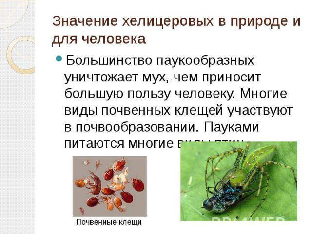 Значение хелицеровых в природе и для человека Большинство паукообразных уничтожает мух, чем приносит большую пользу человеку. Многие виды почвенных клещей участвуют в почвообразовании. Пауками питаются многие виды птиц.