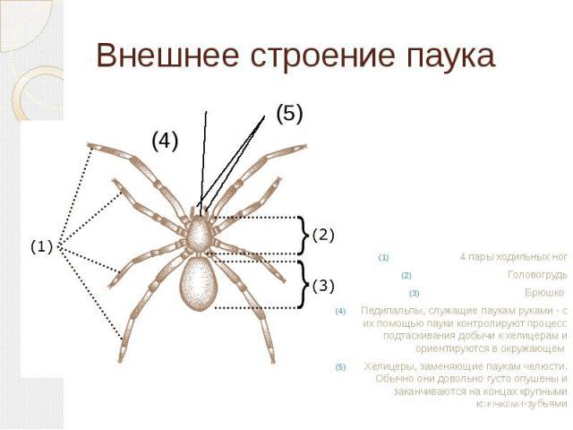Внешнее строение паука (5) (4) 4 пары ходильных ногГоловогрудьБрюшко Педипальпы, служащие паукам руками - с их помощью пауки контролируют процесс подтаскивания добычи к хелицерам и ориентируются в окружающем Хелицеры, заменяющие паукам челюсти. Обыч…