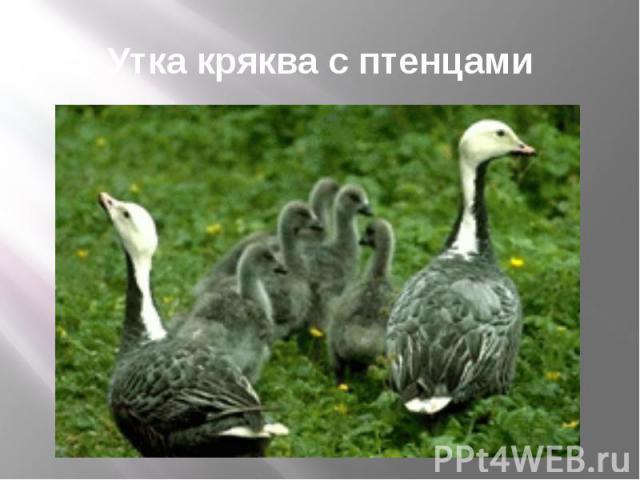Утка кряква с птенцами