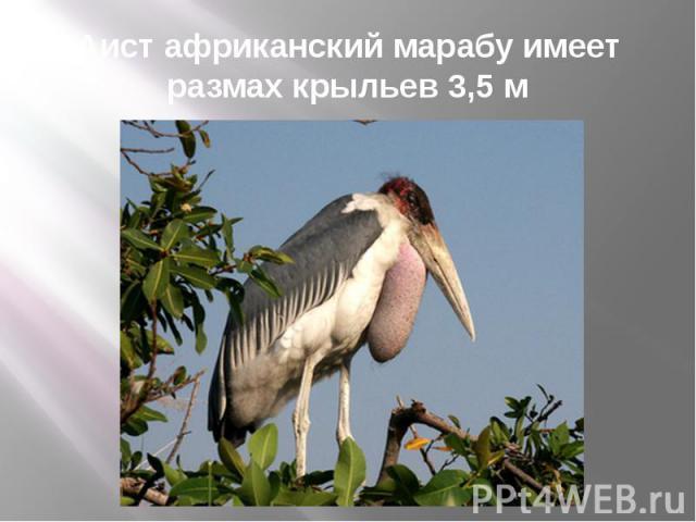 Аист африканский марабу имеет размах крыльев 3,5 м