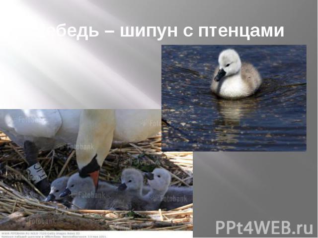 Лебедь – шипун с птенцами