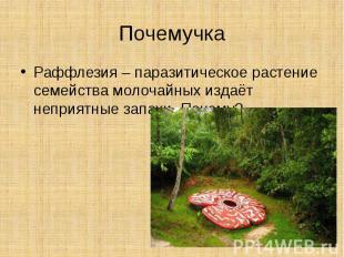 ПочемучкаРаффлезия – паразитическое растение семейства молочайных издаёт неприят