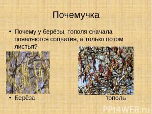 ПочемучкаПочему у берёзы, тополя сначала появляются соцветия, а только потом лис