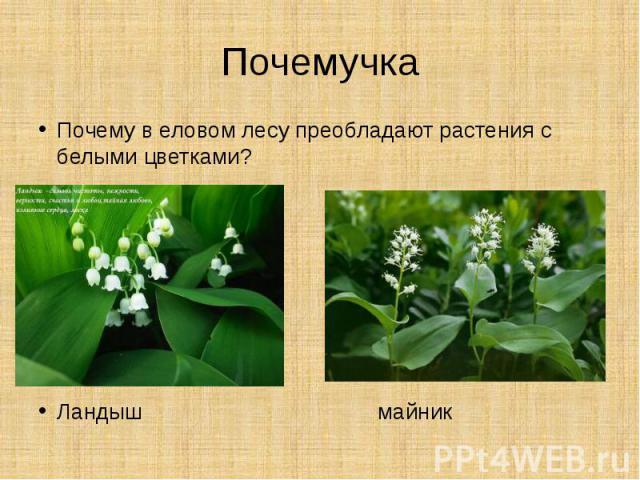 ПочемучкаПочему в еловом лесу преобладают растения с белыми цветками?Ландыш майник
