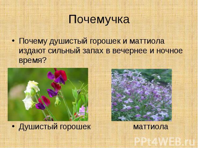ПочемучкаПочему душистый горошек и маттиола издают сильный запах в вечернее и ночное время?Душистый горошек маттиола