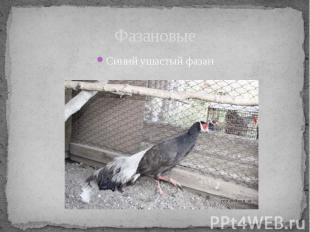 ФазановыеСиний ушастый фазан