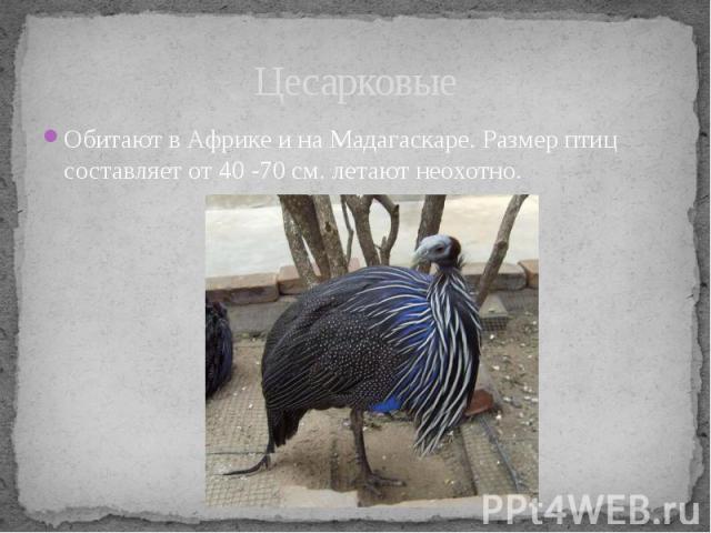 ЦесарковыеОбитают в Африке и на Мадагаскаре. Размер птиц составляет от 40 -70 см. летают неохотно.