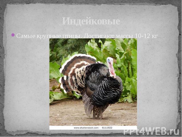 ИндейковыеСамые крупные птицы. Достигают массы 10-12 кг