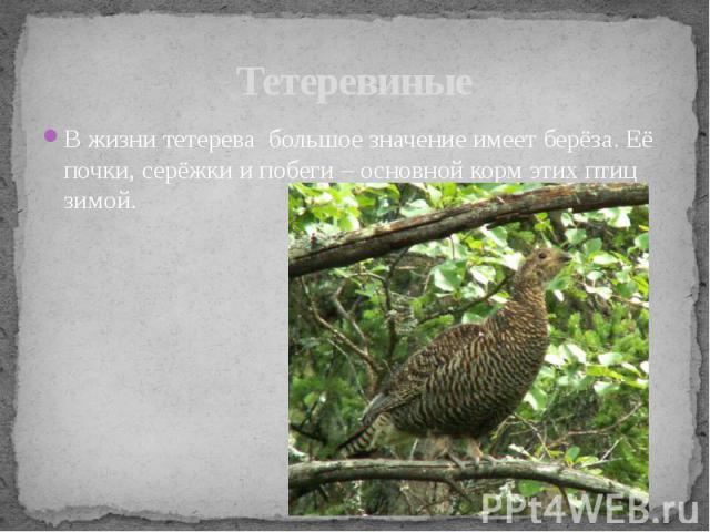 ТетеревиныеВ жизни тетерева большое значение имеет берёза. Её почки, серёжки и побеги – основной корм этих птиц зимой.