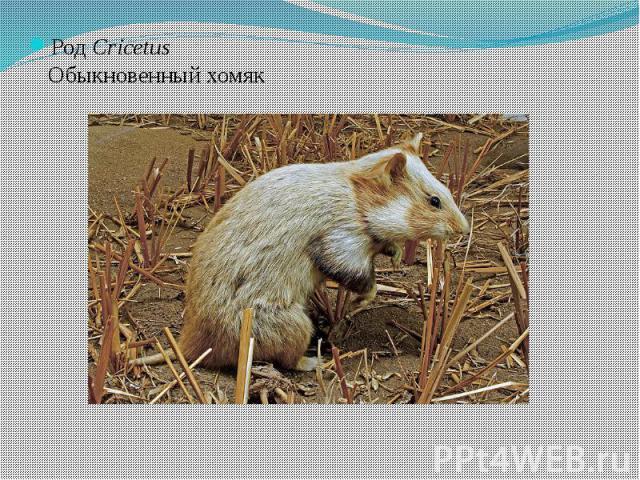 РодCricetusОбыкновенный хомяк