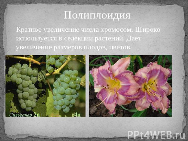 Кратное увеличение числа хромосом. Широко используется в селекции растений. Дает увеличение размеров плодов, цветов.