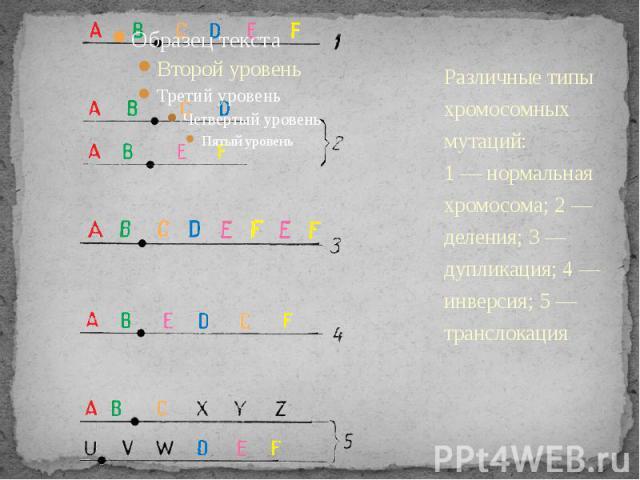 Различные типы хромосомных мутаций:1 — нормальная хромосома; 2 — деления; 3 — дупликация; 4 — инверсия; 5 — транслокация