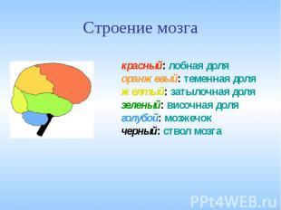 Строение мозга красный: лобная доляоранжевый: теменная доляжелтый: затылочная до