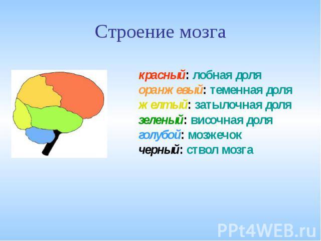Строение мозга красный: лобная доляоранжевый: теменная доляжелтый: затылочная долязеленый: височная доляголубой: мозжечокчерный: ствол мозга