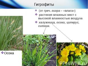 ГигрофитыОсока (от греч.гигра– «влага»)  растения влажных мест с высокой влаж