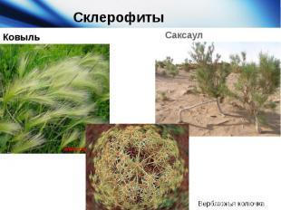 Склерофиты Ковыль Саксаул Верблюжья колючка