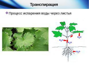 Транспирация Процесс испарения воды через листья