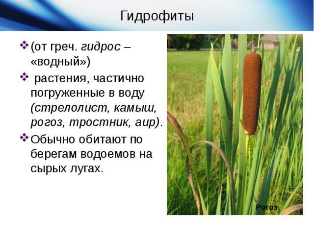 Гидрофиты(от греч.гидрос– «водный») растения, частично погруженные в воду (стрелолист, камыш, рогоз, тростник, аир). Обычно обитают по берегам водоемов на сырых лугах.