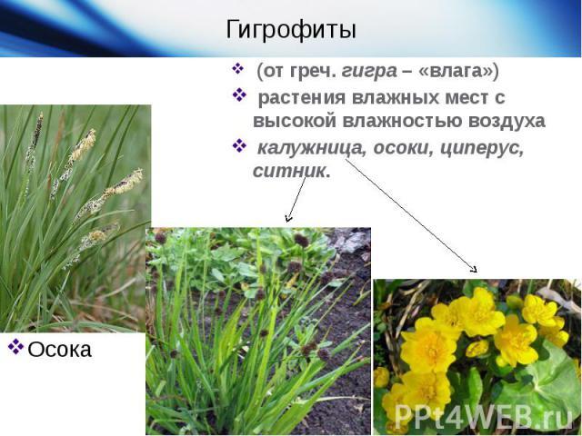 ГигрофитыОсока (от греч.гигра– «влага»)  растения влажных мест с высокой влажностью воздуха калужница, осоки, циперус, ситник.