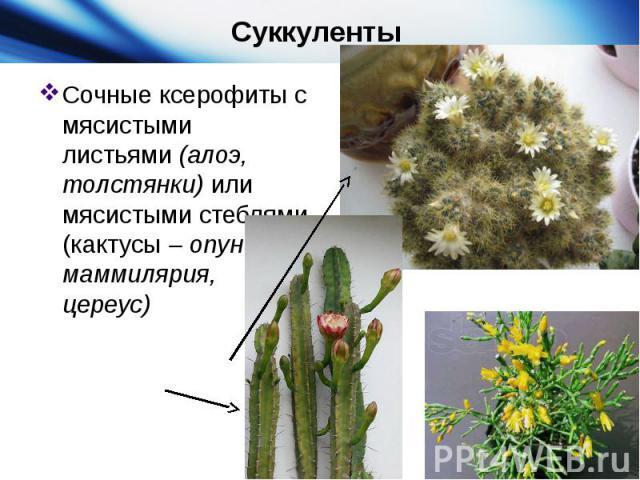 Суккуленты Сочные ксерофиты с мясистыми листьями (алоэ, толстянки) или мясистыми стеблями (кактусы– опунция, маммилярия, цереус)