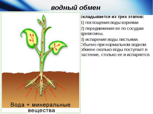 водный обмен складывается из трех этапов:1)поглощения воды корнями 2)передвижения ее по сосудам древесины, 3)испарения воды листьями. Обычно при нормальном водном обмене сколько воды поступает в растение, столько ее и испаряется.