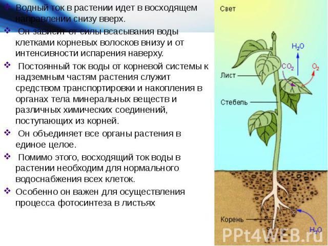 Водный ток в растении идет в восходящем направлении снизу вверх. Он зависит от силы всасывания воды клетками корневых волосков внизу и от интенсивности испарения наверху. Постоянный ток воды от корневой системы к надземным частям растения служит сре…