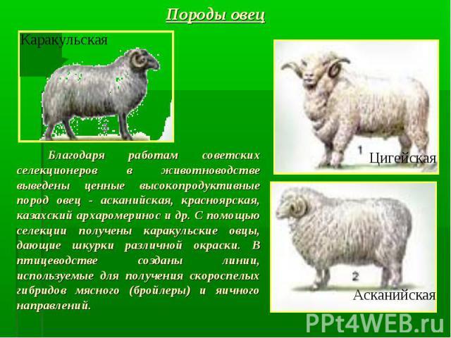 Благодаря работам советских селекционеров в животноводстве выведены ценные высокопродуктивные пород овец - асканийская, красноярская, казахский архаромеринос и др. С помощью селекции получены каракульские овцы, дающие шкурки различной окраски. В пти…