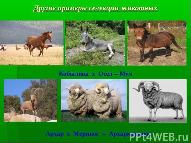 Другие примеры селекции животных Кобылица х Осел = Мул Архар х Меринос = Архармеринос