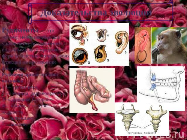 Доказательства эволюции Рудименты — это органы, недоразвитые или упрощенные по сравнению с подобными же у предковых форм вследствие потери своих функций на протяжении филогенезаРудиментарные органы человека: 1 — третье веко,2 — мышца, двигающая ухо,…