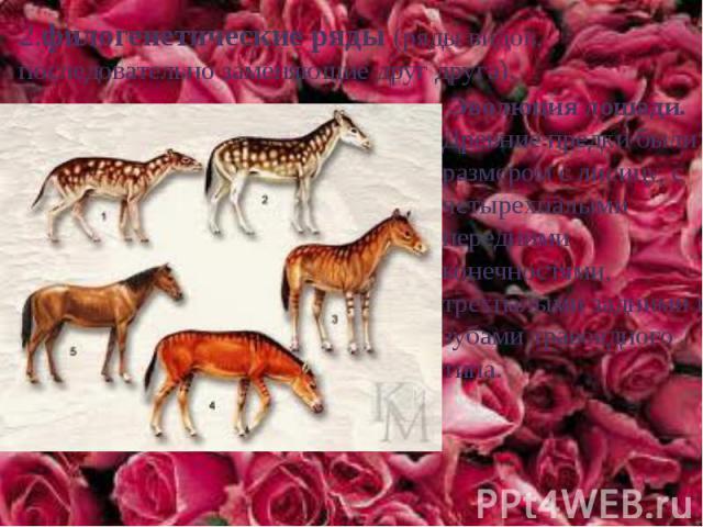 2.филогенетические ряды (ряды видов, последовательно заменяющие друг друга). Эволюция лошади. Древние предки были размером с лисицу, с четырехпалыми передними конечностями, трехпалыми задними и зубами травоядного типа.