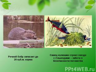 Речной бобр запасает до 20 куб.м. корма Самец колюшки строит гнездо с 2 выходами