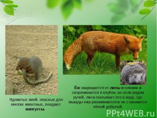 Ядовитых змей, опасных для многих животных, поедают мангусты. Ёж защищается от л