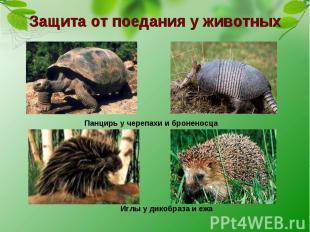 Защита от поедания у животных Панцирь у черепахи и броненосца Иглы у дикобраза и