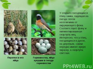 Перепел и его яйца Горихвостка, яйцо кукушки в гнезде горихвостки У открыто гнез