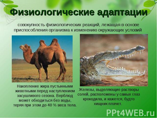 Физиологические адаптации совокупность физиологических реакций, лежащая в основе приспособления организма к изменению окружающих условий Накопление жира пустынными животными перед наступлением засушливого сезона. Верблюд может обходиться без воды, т…