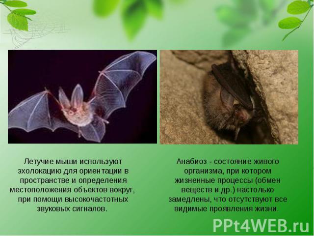 Летучие мыши используют эхолокацию для ориентации в пространстве и определения местоположения объектов вокруг, при помощи высокочастотных звуковых сигналов. Анабиоз - состояние живого организма, при котором жизненные процессы (обмен веществ и др.) н…